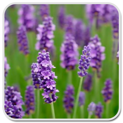 lavender-olea